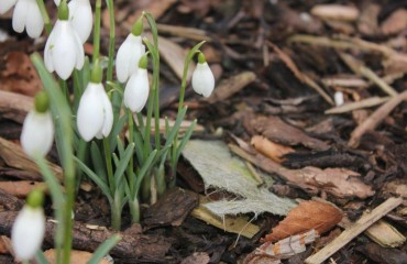 Snowdrops at Anglesey Abbey: ViewRanger's National Trust Walk of the Month