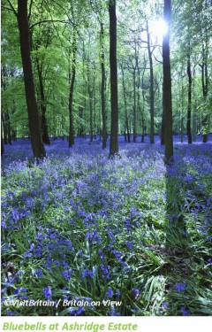 Bluebells1_credit_lowres_caption.png.jpg