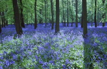Bluebells at Ashridge Estate: ViewRanger's National Trust Walk of the Month