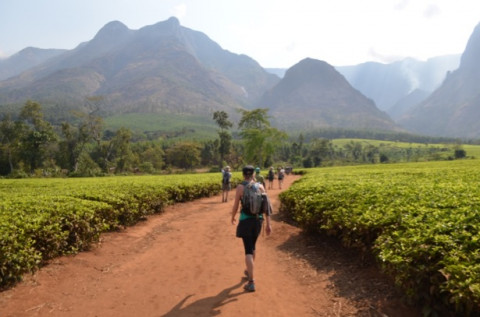 Approaching Malwai's Mount Mulanje through the Lauderdale Estate tea fields.jpg