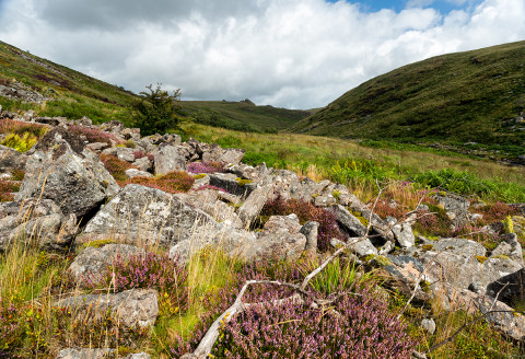 Heather growing amongst rocks at Tavy Cleave on dartmoor national Park in Devon